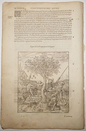 16th-century leaf with two illustrations, one showing the harvesting of white pepper and the...